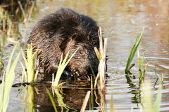 Beaver mascar em raizes suculentas na água rasa do lago Animal nacional canadense do castor Fotos de Stock Royalty Free