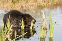 Beaver mascar em raizes suculentas na água rasa do lago Animal nacional canadense do castor Imagens de Stock