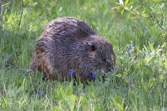 Beaver mit blauen Mützenblumen durch seine Seite Lizenzfreies Stockfoto
