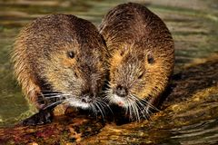 Beaver, Muskrat, Fauna, Mammal royalty free stock photography