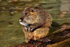 Beaver, Muskrat, Mammal, Fauna royalty free stock photos