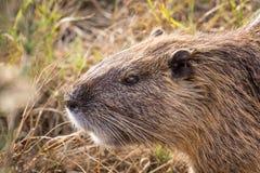 Beaver (Myocastor coypus) close up portrait. Stock Photography