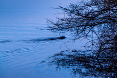 Beaver near dusk in rural Ontario Canada Royalty Free Stock Images