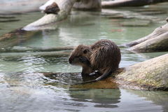 Beaver near water. In zoo Royalty Free Stock Photos