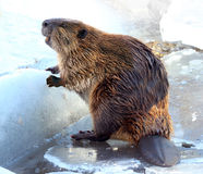 Beaver. North American beaver standing on the snow