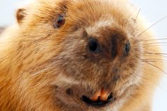 Head of a stuffed eurasian beaver taxidermy in front of a white background Stock Images