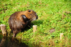 Beaver / otter by river. A wet beaver / otter by river Royalty Free Stock Image