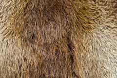 Beaver Pelt. A beaver pelt close up stock photography