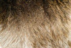 Free Beaver Pelt Royalty Free Stock Photos - 5844468