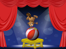 A beaver performing in the circus Stock Photography