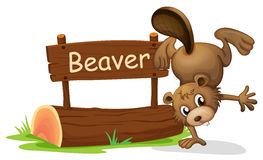 A beaver performing a handstand beside a signboard Royalty Free Stock Photography