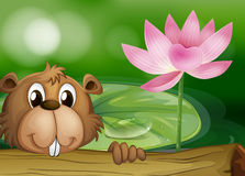 A beaver beside a pink flower Stock Images