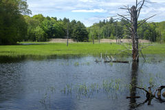 Beaver pond with a dead tree in Hebron, Connecticut. Stock Photos