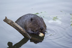 The beaver in the pond eating a piece of bread Royalty Free Stock Image