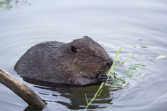 The beaver in the pond eating a twig Royalty Free Stock Photography