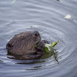 The beaver in the pond eating a twig Royalty Free Stock Photos