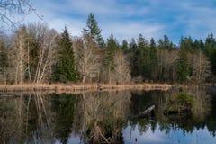 Beaver Pond. In Olympia Washington Royalty Free Stock Photos