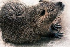 Beaver Royalty Free Stock Photos