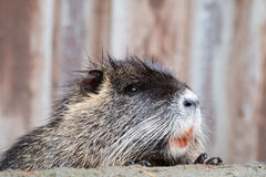 Beaver. Portrait of an beaver with orange teeth Royalty Free Stock Photo