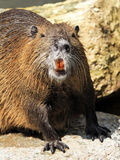beaver rat Royalty Free Stock Images