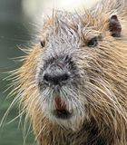 beaver rat or coypu Royalty Free Stock Photos