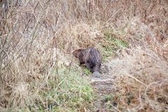 The beaver walks along the river bank in the winter stock photo