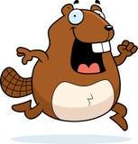 Beaver Running Stock Image