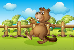 A beaver running inside a fence Stock Image