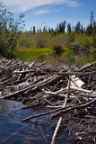 Beaver's Dam and Lodge. Beaver's dam and home made from lots of sticks and mud Stock Photography