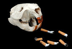 Beaver's Skull and Cigarette Butts Royalty Free Stock Photo