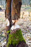 Beaver s work Stock Photography