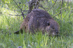 Beaver searching for fresh twigs Stock Image