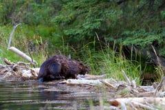 Beaver shaking off water Stock Image