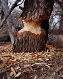 Beaver sign. A cottonwood cut by beaver stock image