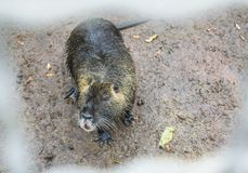 Beaver sits in a cage. Stock Photos