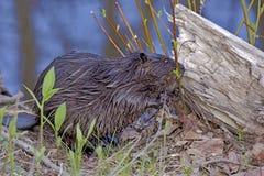 Beaver Royalty Free Stock Photo