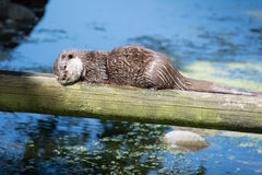 A Beaver sleeping in the sun Royalty Free Stock Photography