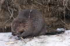 Beaver on the snow Stock Photo