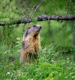 Beaver Standing Around the Vegetation stock image