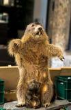 Beaver stuffed like advertising stock images
