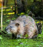 Beaver in the swamp. Closeup of a beaver in the swamp near his den Royalty Free Stock Images