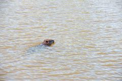 Beaver swimming Royalty Free Stock Photo