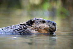 Beaver swimming close up Royalty Free Stock Image