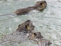 Beaver swimming lake royalty free stock photography