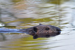 Beaver swimming in pond Royalty Free Stock Image