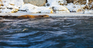 Beaver Swimming in River. A large beaver swimming next to an ice shelf on the bank of the Truckee River in Reno, Nevada Stock Photography