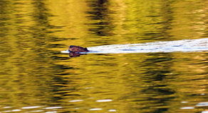 Beaver swimming Royalty Free Stock Photography