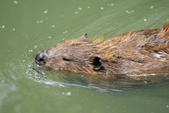 Beaver Stock Photography