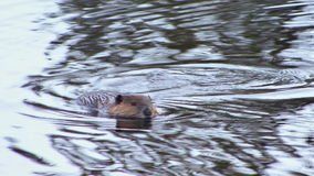Beaver swimming in water stock video footage