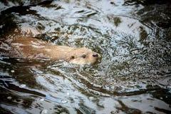 Beaver swimming Stock Photos